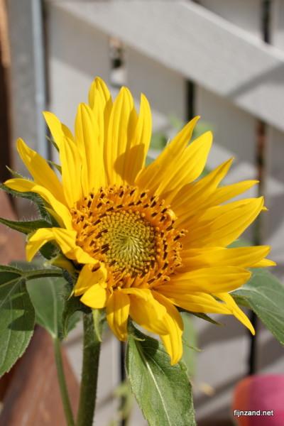Aurinkoinen kukka